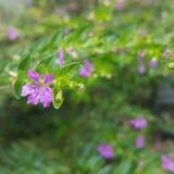 Meksykańska wrzos roślina Obraz Stock