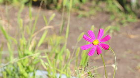 Meksykański asteru kwiat zdjęcie wideo