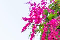 Meksykański pełzacz, Antigonon leptopus jest ornamentacyjnym rośliną który jest rodzimy Meksyk Ja jest winogradem z różowymi lub  obrazy stock