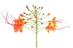 Meksykański ptak raju kwiat także c Zdjęcia Stock