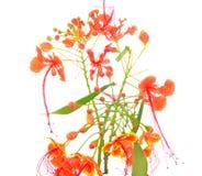 Meksykański ptak raju kwiat także c Obrazy Stock