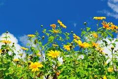Meksykański słońce kwiatu pole zdjęcie royalty free