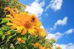 meksykański słonecznik Fotografia Royalty Free