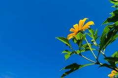 meksykański słonecznik Fotografia Stock