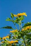 meksykański słonecznik Zdjęcia Royalty Free