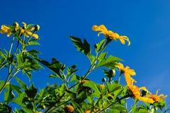 meksykański słonecznik Obraz Royalty Free