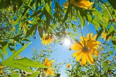 Meksykański słonecznik i niebieskiego nieba tło Fotografia Stock