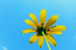 Meksykański słonecznik na niebie Obraz Stock