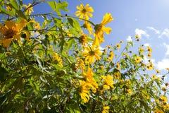Meksykański słonecznik pod niebieskim niebem Obrazy Stock