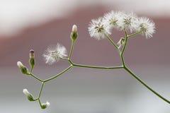 Meksykański stokrotka kwiat w zieleń ogródzie Zdjęcie Stock