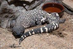 Meksykańska z paciorkami jaszczurka, Heloderma horridum Zdjęcie Stock