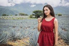 Meksykański agawa krajobraz Obraz Stock