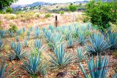 Meksykański agawy pole Obraz Stock