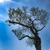 Meksykański mezquite drzewo Obrazy Royalty Free