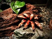 Meksykanina Rustleg tarantula Obrazy Stock