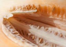 Melão com sementes Foto de Stock Royalty Free