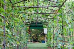 Melão de inverno vegetal do berçário Fotografia de Stock