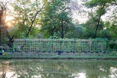 Melão de inverno vegetal do berçário Fotos de Stock