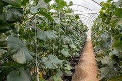 Melão japonês que cresce na exploração agrícola do melão com folha foto de stock