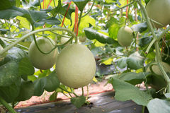 Melão novo na exploração agrícola orgânica Fotografia de Stock Royalty Free