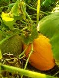 Melão verde e amarelo fotos de stock