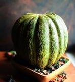 Melão verde maduro bonito em uma luz do dia fotografia de stock royalty free