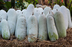 Melón de invierno (hispida de Benincasa) Foto de archivo