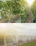 Melões do cantalupo que crescem no grupo da foto da exploração agrícola da estufa, parte externa, interna, frutos na planta Imagem de Stock