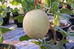Melões no jardim Imagem de Stock