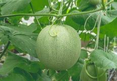 Melões novos que crescem na estufa fotos de stock