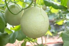 Melões pequenos na exploração agrícola em Tailândia Fotos de Stock