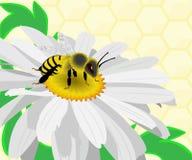 Mel do recolhimento da abelha em uma camomila Foto de Stock