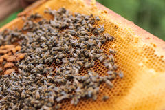 Mel e abelhas Imagens de Stock Royalty Free