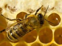 Mel próximo da abelha no pente Imagem de Stock Royalty Free