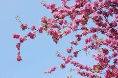 Mela-albero di fioritura Fotografia Stock Libera da Diritti