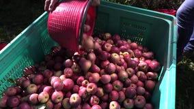 Mela annurca italian apple stock footage