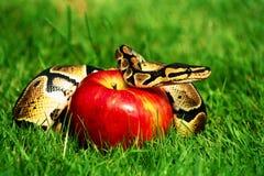 Mela del serpente di peccato Fotografie Stock Libere da Diritti