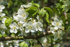 Mela di fioritura Fotografie Stock Libere da Diritti