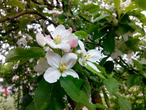 Mela di fioritura Immagine Stock