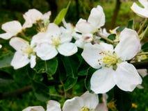 Mela di fioritura Fotografia Stock Libera da Diritti