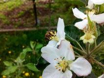 Mela di fioritura Fotografie Stock