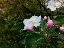 Mela di fioritura Immagine Stock Libera da Diritti
