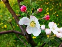 Mela di fioritura Fotografia Stock