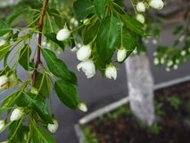 Mela di fioritura in primavera fotografia stock libera da diritti