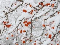 Mela di granchio dopo le precipitazioni nevose Fotografia Stock Libera da Diritti