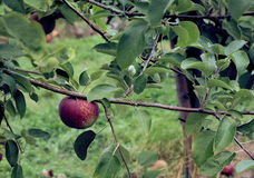 Mela di Macintosh sull'albero fotografie stock libere da diritti