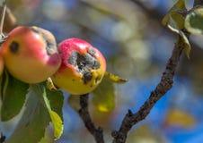 Mela di raccolto Agricoltore sul lavoro, nel suo frutteto di Modi della mela Immagini Stock Libere da Diritti