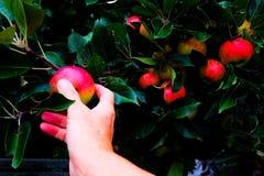 Mela di raccolto della mano dall'albero Fotografia Stock