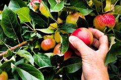 Mela di raccolto della mano di di melo maturo, Immagini Stock Libere da Diritti