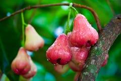 Mela di rosa rossa dopo pioggia sull'albero in giardino, Thaila Immagine Stock